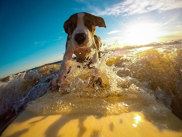 reaching fluency is almost as cool as this surfing dog